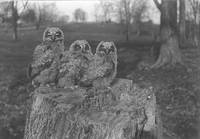 008_Three Great Horned Owls on a Stump