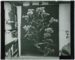 Eutrochium (Joe-Pye Weed)