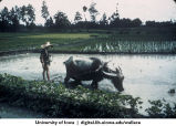 Farmer and water buffalo in rice paddy, China, 1944