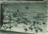 Bird display case at the Natural History Museum, The University of Iowa, 1920s