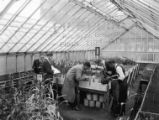 Students measuring corn plants in greenhouse, 1930