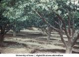 Trees, China, 1944