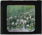 Rosa arkansana (Prairie rose)