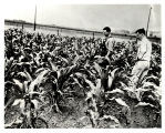 Raymond Baker and Henry A. Wallace in corn field, United States, ca. 1933