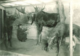 Student painting background of Museum of Natural History exhibit, The University of Iowa, 1960s