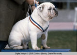Drake Relays, 1980s, Beautiful Bulldog