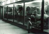 Girl looking at a ram at the Natural History Museum, The University of Iowa, 1920s