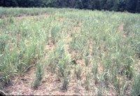 Pasture grass, 1983