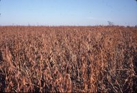 No-till soybeans after heat, 1981