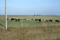 Arnold Berglund's cattle graze in a pasture.