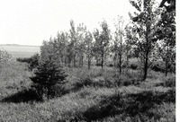 Windbreak near cornfield