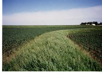 Tall Grass Between Crop Rows
