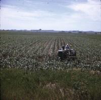 Contour cultivator in a cornfield.