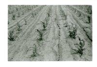 Corn Rows In June