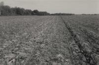 No Till Corn in Bean Residue on Stan Moser's Farm.