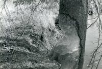 Large Tree Chewed by Beavers