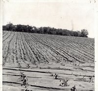 Cornfield with silty erosion