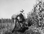 Man lifting stubble with walking mold board plow, 1951