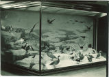 Diorama of birds on snowy coast at MacBride Hall, The University of Iowa, 1920s?