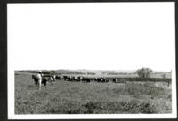 Ed Admar in a Field with Cattle