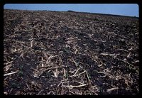 Mulch tilled field.