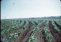 Contoured cornfield.
