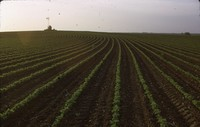 Field of contoured beans on the Duncan farm.
