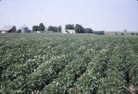 Bean field, 1983