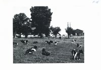 Livestock grazing on alfalfa-brome pasture on Lyle Felten farm, 1965