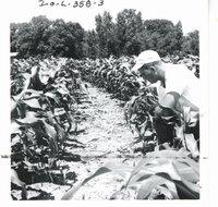 Stuart Morehead's chisel plowed contour corn