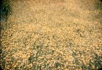 Blooming birdsfoot trefoil.