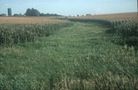 Grassy strip between corn rows