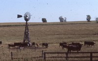 Arnold Berglund's cattle graze in a pasture.