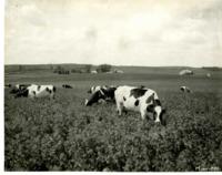 Herd of Cattle Grazing in a Field