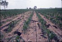 Wendell Beattie no-till corn, 1983