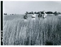 Little Bluestem on Richard Johnson's land, 1963
