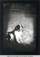 Spaniel dog Bobby