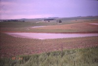 Field of early corn with flooding