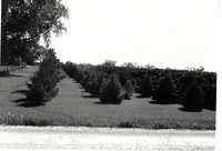 Evergreens in abundance