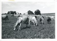Glen Eads dairy heard grazing, 1963