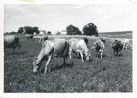 Glen Eads dairy heard grazing, 1963