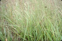 Side-oat grass in the DeSoto Bend.