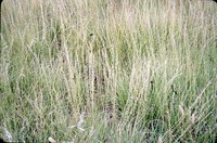 Side-oat grass in the DeSoto Bend.