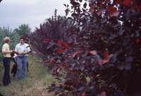 Chokecherry windbreak in the DeSoto Bend.