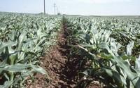 Crop rows on Richard Duthie's farm.