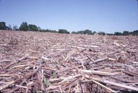 Mike Brown no-till corn field, 1980s