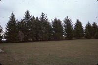 Spruce windbreak on Paul Piggott's farm.
