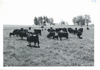 Cattle grazing on Raymond Kurth farm, 1963