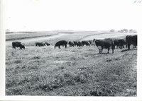 Erwin Jepsen farm livestock grazing pasture, 1962