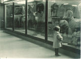 Child views deer and bighorn sheep displays in the Museum of Natural History in Macbride Hall, the University of Iowa, 1950s?